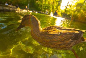 Female Mallard in Canary Wharf by atmp
