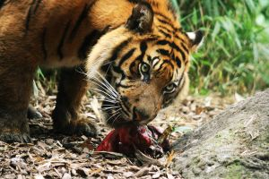 Sumatran Tiger 10 by Sabbie89