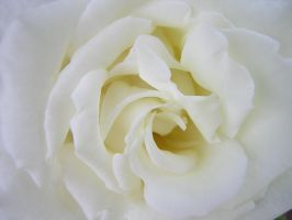my favourite rose by LauraForti