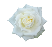 rose png 2 by vin-stock