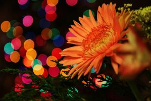 Gerbera Daisy at Christmas by froggynaan