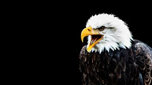 bald eagle 3 by PhotographyChris