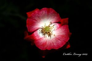 Red Poppy by Caity-lyn