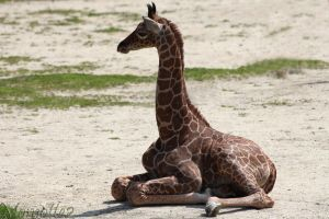 Relaxing baby giraffe by Momotte2