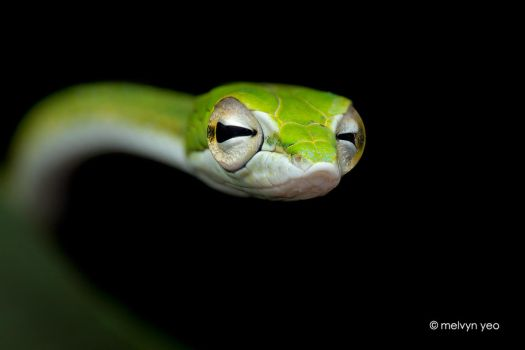Big-eye Green Whip Snake (Ahaetulla Mycterizans) by melvynyeo