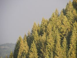 Pine forest by colorbliss