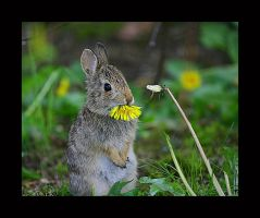 Dandilion - Baby Bunny by swashbuckler