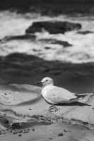 Seagull by Mike79Baker