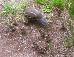 Baby Quail with Momma by findmeaname
