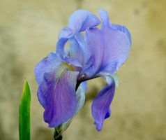 My Iris Blue by kanes