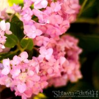 Pink Blooms by shawn2death