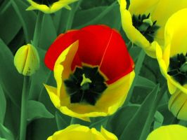 Diverse Tulip by Photos-By-Michelle