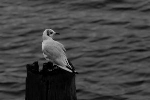 Seagull by jo-i