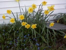 The First Spring Daffodils by Lunastel