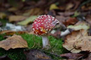 DSC 0048 Fly Agaric by wintersmagicstock