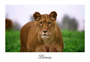 lioness by Yair-Leibovich