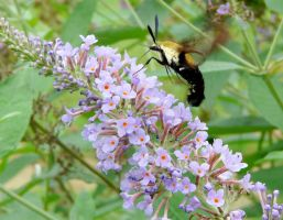 Snowberry Clearwing by duggiehoo