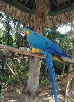 Blue and Gold Macaw 3 by UnaccountedFranglais