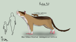 Baobab Rat by Midiaou