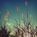 Silver grasses by yumi71