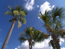 .: Towering Palms :. by BeachBumDunkin