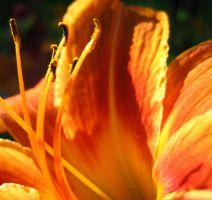 Tiger Lilly VII by Holly6669666