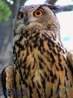 Eurasian Eagle Owl - l by BelievePhotography