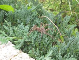 Fishing Spider/Wolf Spider? by Benni-M