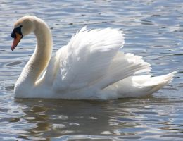 mute swan stk. by LubelleCreativeSpark
