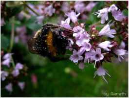 Hummel am Wilden Majoran by Miarath