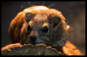 Bush Hyrax by Wild-Soul