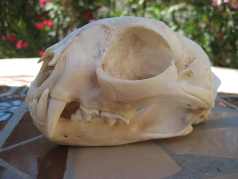 Bobcat skull, side view by Ratrinadragon