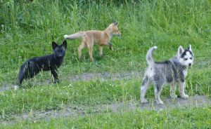 Young fox and puppies husky5 by foxsvir