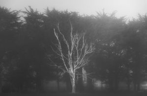 Mist and the tiresome tree.. by lomatic