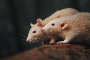 Two rats in the woods by AnnaTyurina