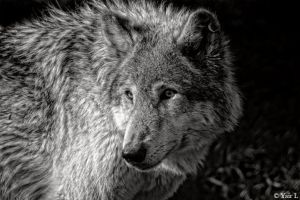 black and white wolf by Yair-Leibovich