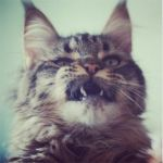 maine-coon 2 by Tris-san