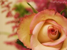 Rose by ElinsPhotography