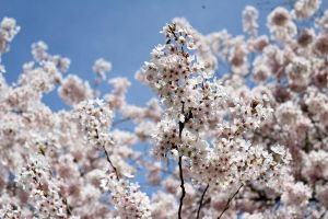 Cherry Blossoms by dellamort