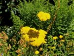 Ambition: Golden Yarrow Blossoms by ScraNo