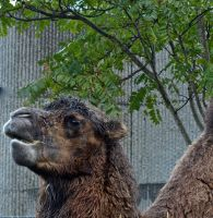 Camel by gee231205
