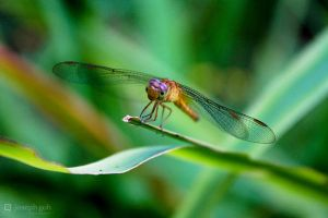 Dragonfly by josgoh