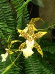 Yellow Spotted Orchid by firewisp