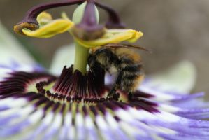 passsion flower bee by tap69