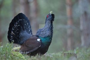 Cock of the North - Capercaillie by Jamie-MacArthur