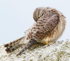 I'm Shy - Common Kestrel by Jamie-MacArthur