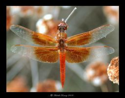 Flame Skimmer by MichelleRamey