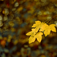 Autumn, Golden Trees by ifsantag
