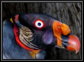 King Vulture by dignitarium