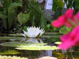 lily pond 3 by stockofshutterbugmom
